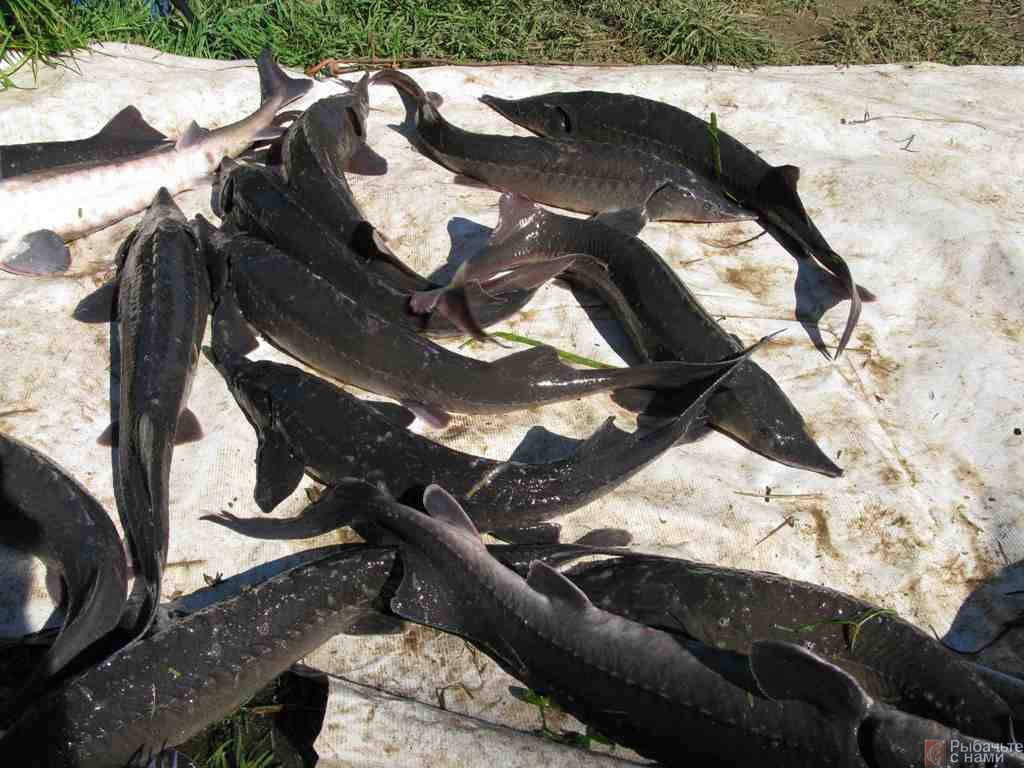 Рыбалка на осетровую рыбу